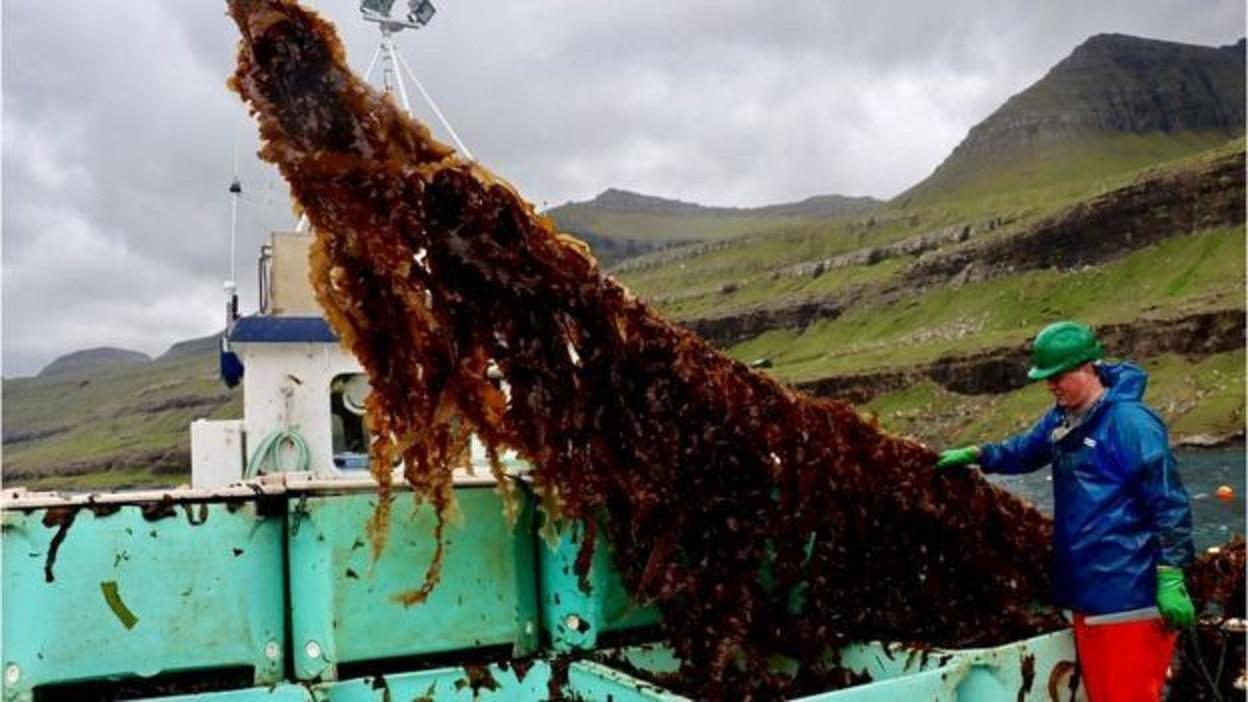 Deniz Yosunları Geleceğin Gıdası ve Yakıtı Olabilir mi?