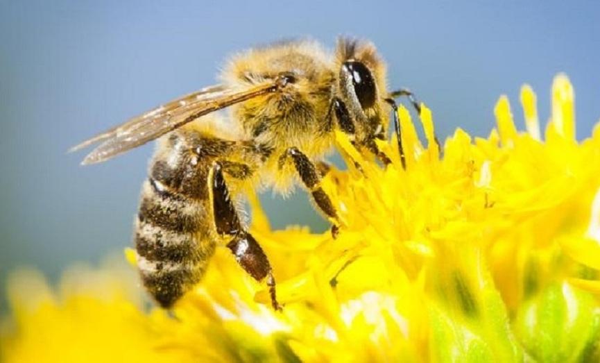 Arı Zehiri Meme Kanserini Yok Ediyor