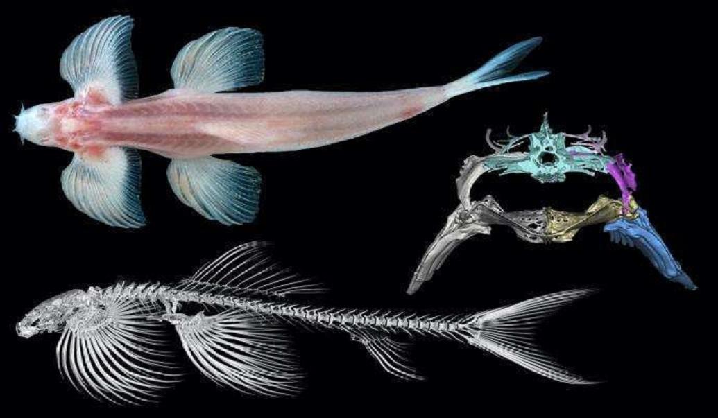 Karada Yürüyebilen En Az 11 Balık Türü Var